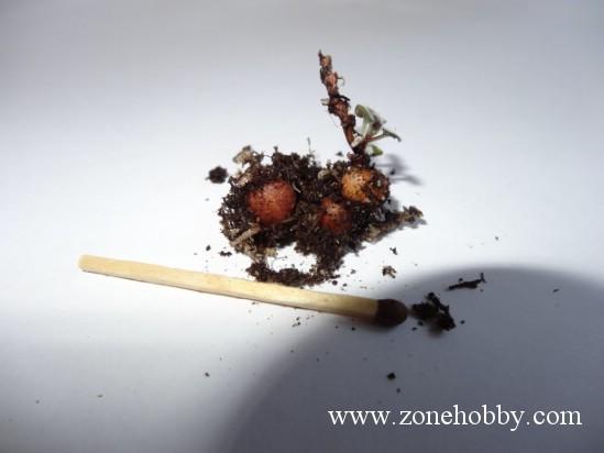 Размножение минисиннингии и пересадка (мастер-класс)