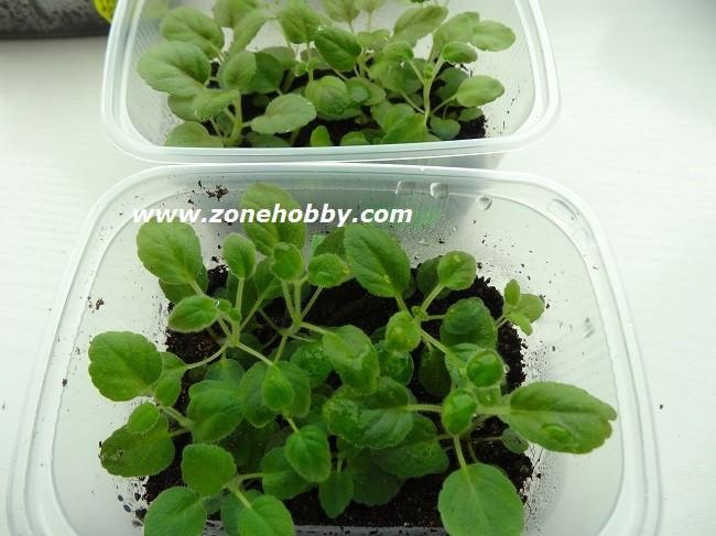 минисиннингии из семян