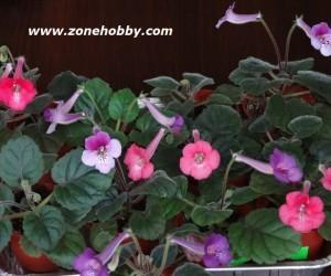 Выращивание минисиннингии из семян